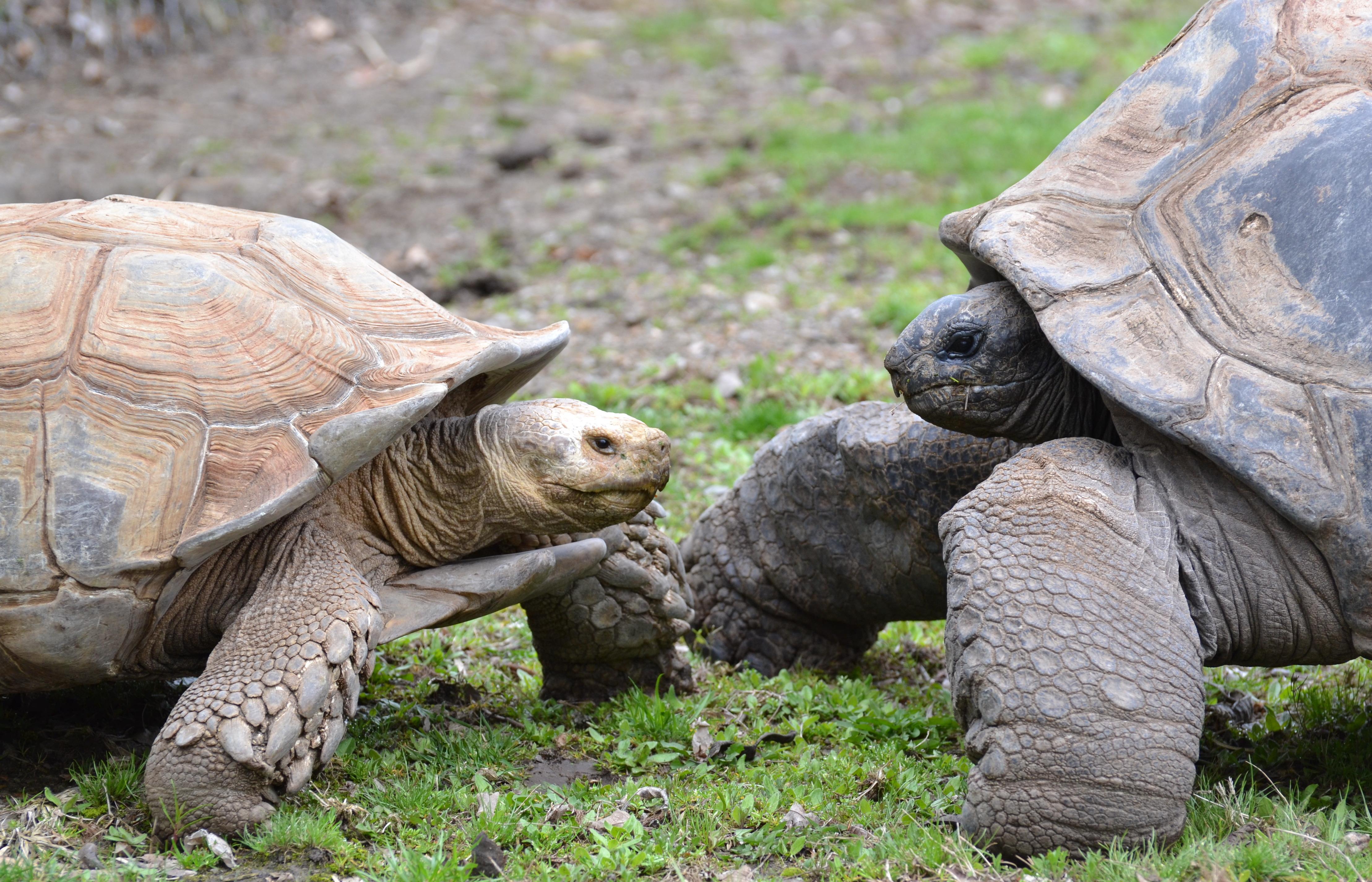 turtle-faceoff
