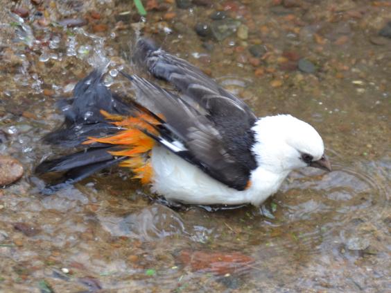 bird-buffalo-weaver-bath