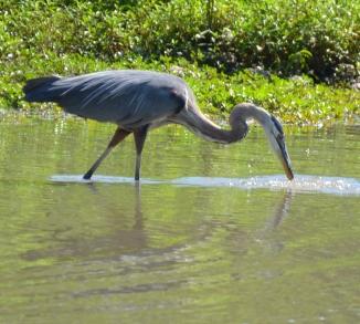 bird-crane-sandhill