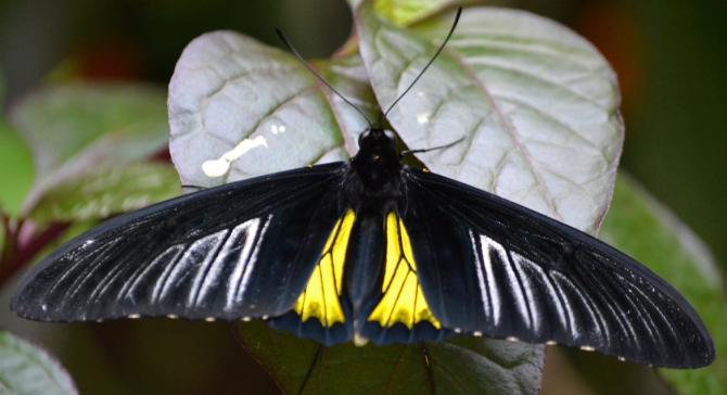 btrfly-golden-birdwing