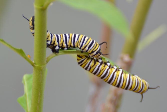 caterpillar-monarch