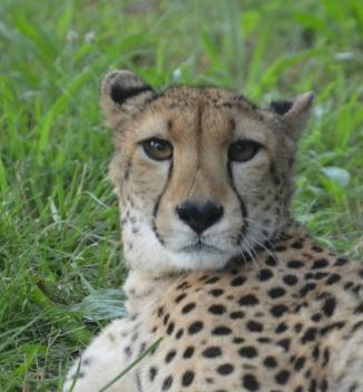 cheetah-who-me