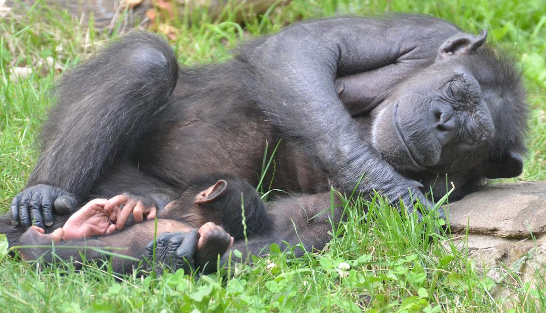 chimp-snooze