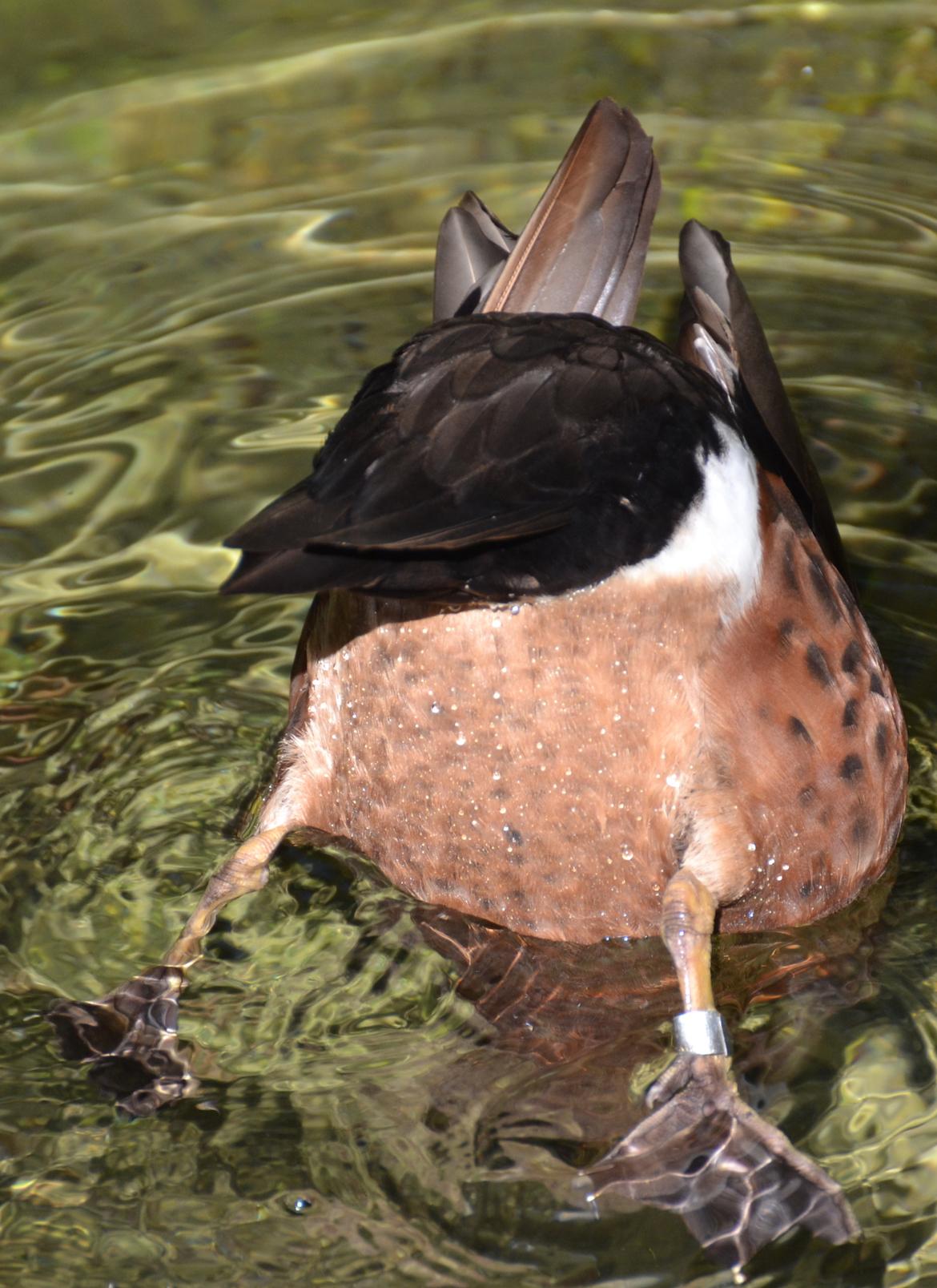 duck-bottoms-up