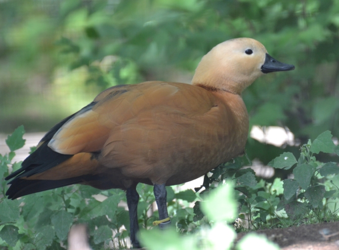 duck-unique
