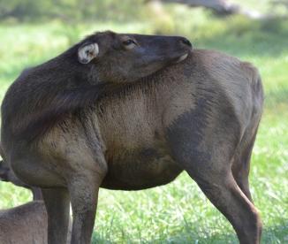 elk-itchy