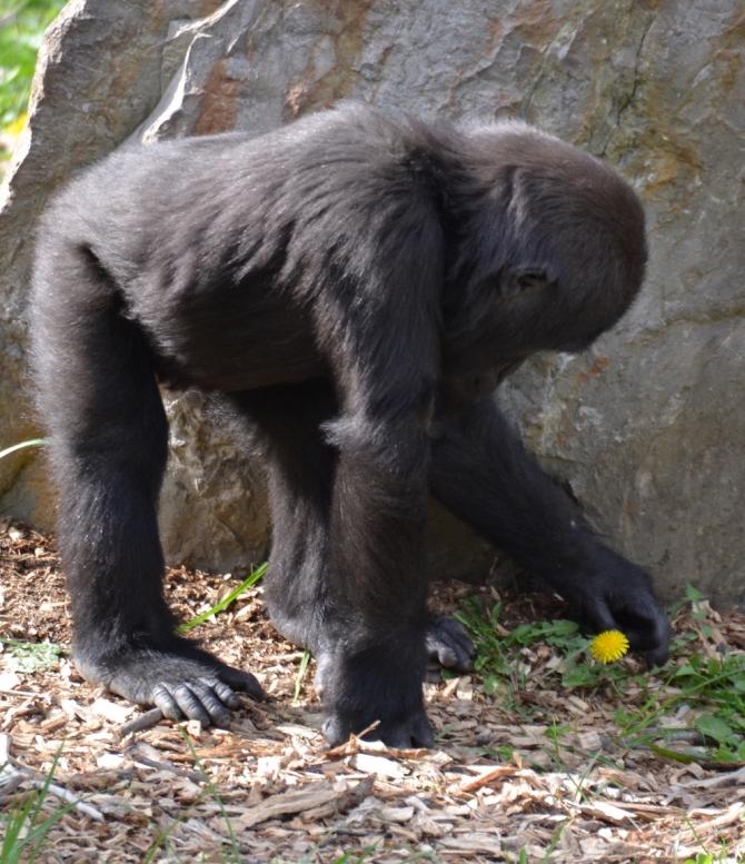 flowerpower-gorilla-masika