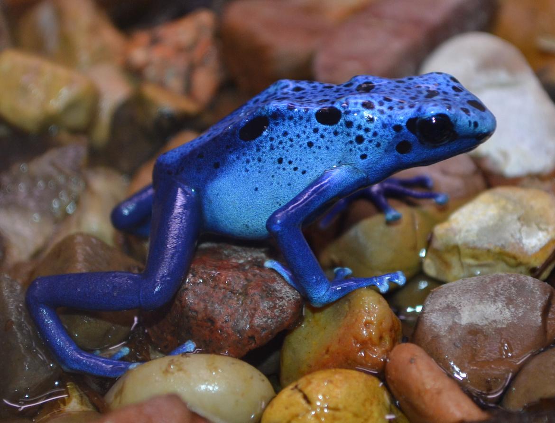 frog-blue-danger