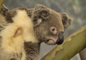 koala-attention