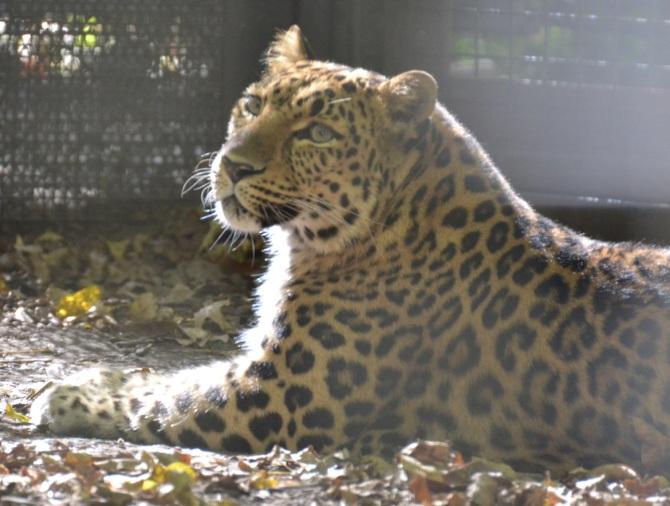 leopard-look-curiosity