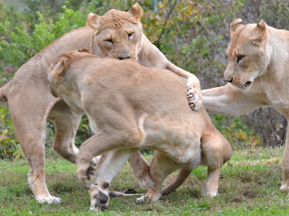 lion-family-feud