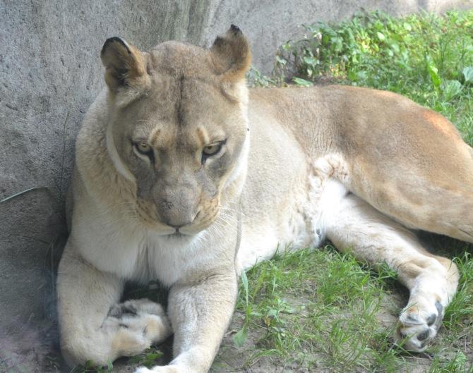 lion-leg-tuck