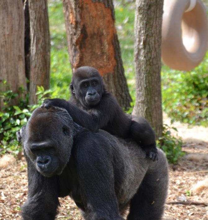masika-gorilla-toobig