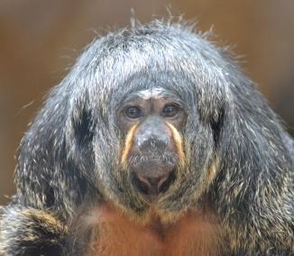 monkey-Saki