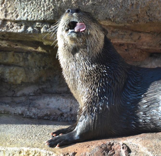 otter-goofy