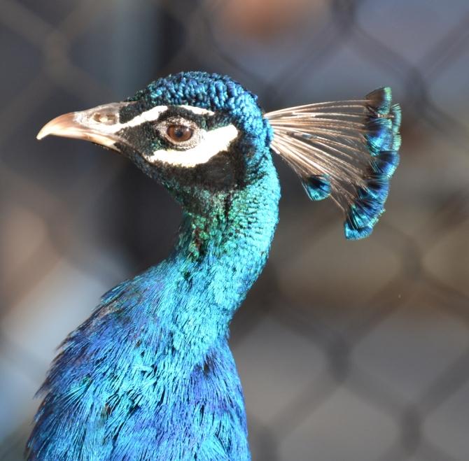 peacock-profile