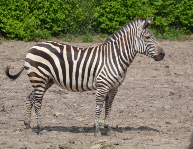 zebra-daydream