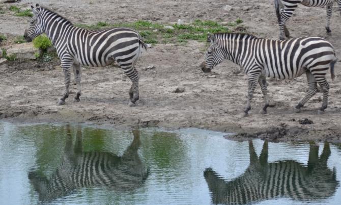 zebra-line-dance