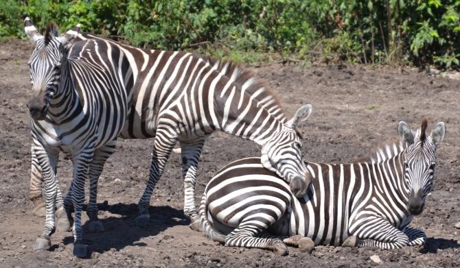 zebra-snuggle