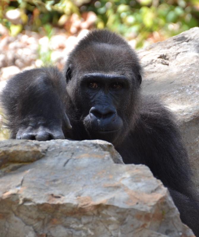 gorilla-rock-holder