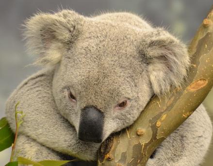 koala-sigh
