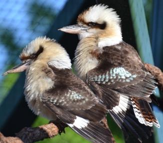 kookaburra-laugh