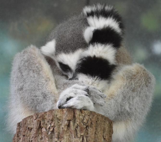 lemur-ball