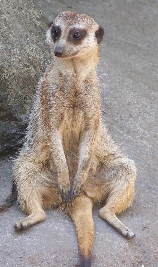 meerkat-posture