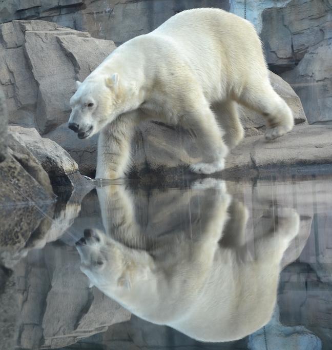 polarbear-nikita-pool-time