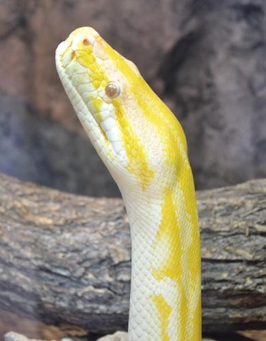 snake-albino