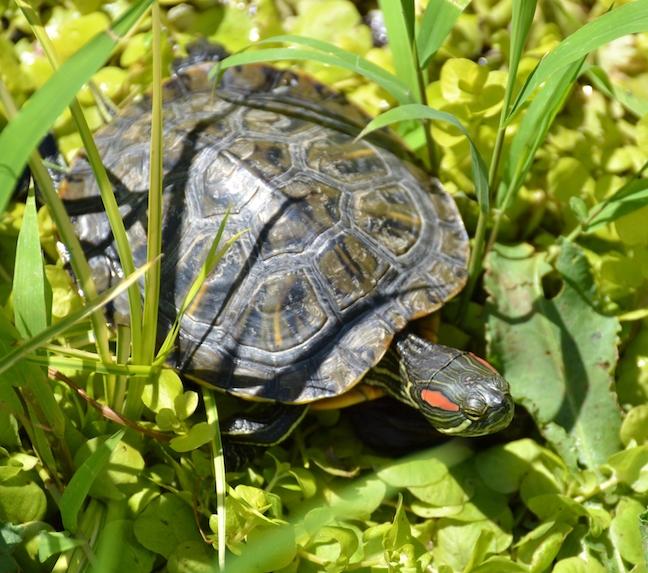 turtle-weeds