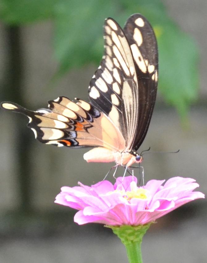 btrfly-swallowtail-yellow