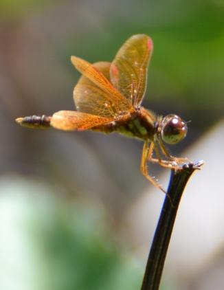 dragonfly-orange-jewel
